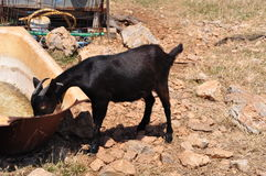 Black billy goat drinking from rusty old bathtub in greek countryside Royalty Free Stock Photo