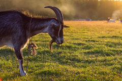 Black billy goat grazing at sunset on a green field Royalty Free Stock Images