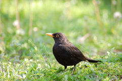 Black bird Stock Photo