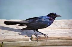 Black Bird. On a board Royalty Free Stock Photos