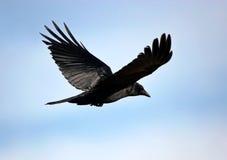 Black bird. Flying in the sky royalty free stock photo