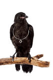 The black bird. Sits on a branch with a silver heart on a white background Stock Photo