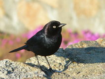 Black Bird Stock Images