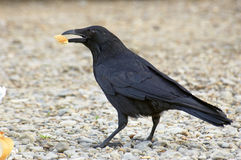 Black bird. Close up with bread in its beak Stock Photo