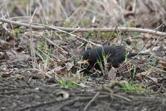 Black-bird in Abcoude in the Netherlands Royalty Free Stock Image