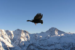 Black bird in Alps. Black bird flying in Alps, seems like hanging and looking down Stock Photography