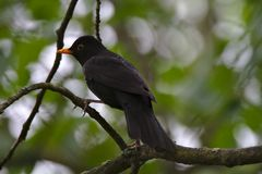 Common blackbird royalty free stock images