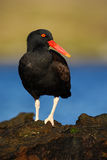 Black bird. Bird with open red bill. Blakish oystercatcher, Haematopus ater, with oyster in the bill, black water bird with red bi Stock Photos