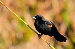 Black Bird & Blured Background Stock Image