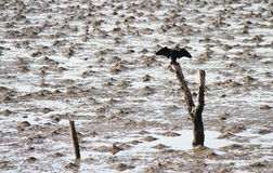 Black bird on branches Royalty Free Stock Images