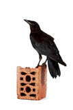 Black bird on a brick fragment. On a white background Royalty Free Stock Images