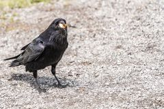 American Raven, Common Raven stock image