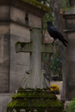 The black bird. A black crow on a grave stock photos