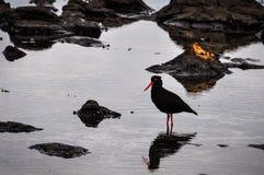 Black bird in Curio Bay, New Zealand. Black bird in Curio Bay, the Southern Scenic Route, New Zealand Royalty Free Stock Photo