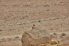 Black bird in a desert Royalty Free Stock Photography