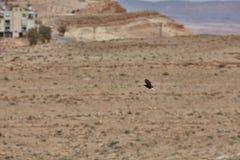 Black bird in a desert Stock Photo