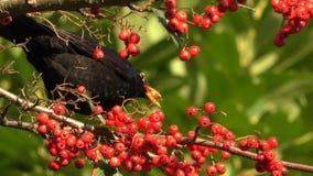 Black bird eating and pooping loop stock footage