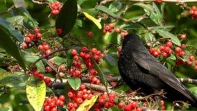 Black bird eating red berries stock footage