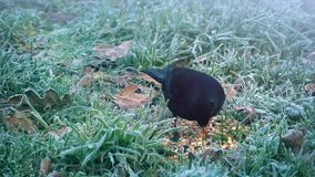 Black Bird Eats Seeds In Winter stock video footage