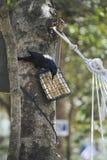 Black Bird feeding Royalty Free Stock Image