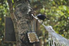 Black Bird feeding Royalty Free Stock Photography
