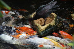 Black Bird Feeding Fish Stock Photo