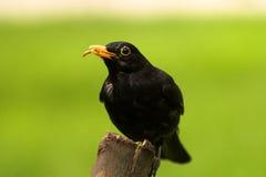 Black bird. Feeding wildlife beak worm bird life log wild feathers Stock Image