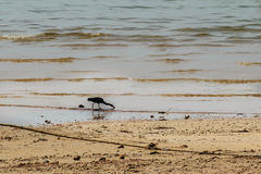 Black bird is finding for fish on the beach nearby the fisherman Stock Photo