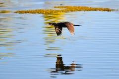 Black bird flying. In a lake Stock Photo
