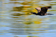 Black bird flying. In a lake Royalty Free Stock Photography