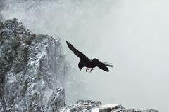 Black bird flying between rocks with snowy peak in clouds, wildlife high in the mountains, hunting and danger, mining royalty free stock images