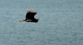 Black bird flying Royalty Free Stock Photo