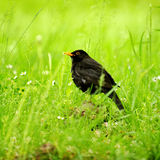 Black bird in the grass Stock Photo