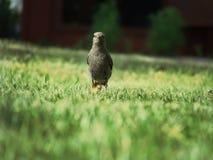 Black Bird on Green Grass Royalty Free Stock Photography