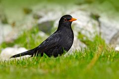 Black bird in green grass. Common blackbird, Turdus merula, green vegetation. Wildlife Europe. Czech Republic royalty free stock image