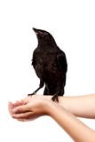 Black bird on hands. On a white background Royalty Free Stock Photos