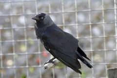 Black bird Jackdaw against grey background. This is a captive Jackdaw, black bird member of the crow corvid family.  The background is a muted grey out of focus Royalty Free Stock Photos