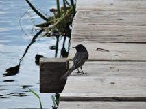 Black bird at the lake deck royalty free stock photography