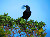 Black bird making its nest Royalty Free Stock Photography