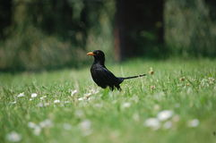 Black Bird Royalty Free Stock Image