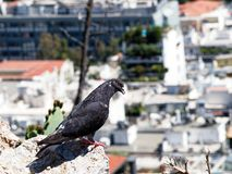 Black Bird Perched on Rock Overlooking Athens City, Greece. A red eyed crow blackbird perched on a rock on Mount Lycabettus overlooking inner city Athens stock image