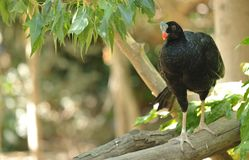 Black bird perched in tree Royalty Free Stock Photos