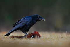 Black bird raven with dead Common Pheasant, Carcass in forest. Feeding scene from nature. Black bird from Gramany. Bird with food. Sweden Royalty Free Stock Image