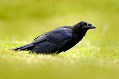 Black bird raven in the green grass. Feeding scene from nature. Black bird from Germany. Bird with food. Meadow with raven. Wildli. Fe Royalty Free Stock Photo