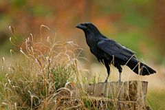 Black bird raven sitting on the tree trunk with grass in the forest. Wildlife scene from nature. Animal in the forest habitat. Black bird raven sitting on the royalty free stock image