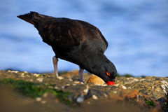 Black bird with red bill. Blakish oystercatcher, Haematopus ater, with oyster in the bill, black water bird with red bill. Bird fe. Black bird with red bill Royalty Free Stock Image