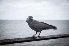 Black bird on the rusty fence, in Peel, Isle of Man Stock Photography