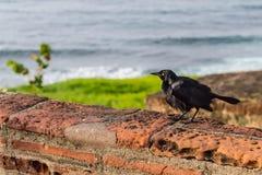 Black bird in San Juan. Photo of a black bird in Old San Juan Stock Image