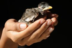 Protect bird life, bird close eye was save in woman hand on black background, isolated horizontal color image. Royalty Free Stock Photo