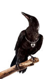 The black bird sits on a branch. With a silver hear Stock Photos